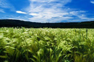 green crop under blue skys