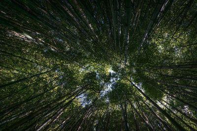 amazing bamboo trees