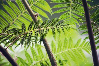 branching ferns