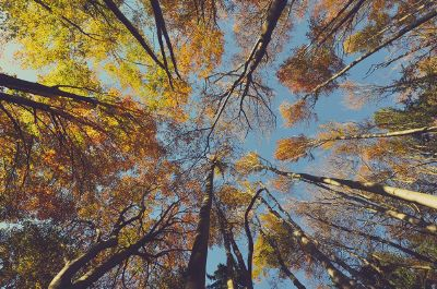 tall trees with yellow leafs