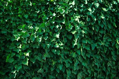 wall of ivy like the cubs