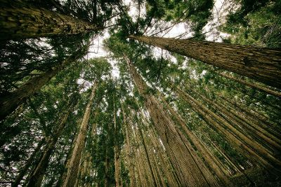 looking up into tall trees