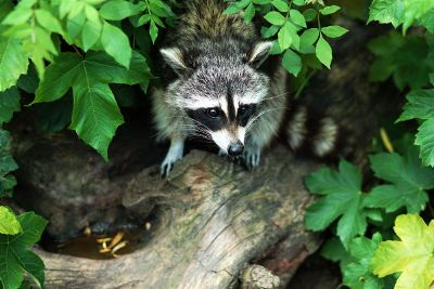 raccoon under plants