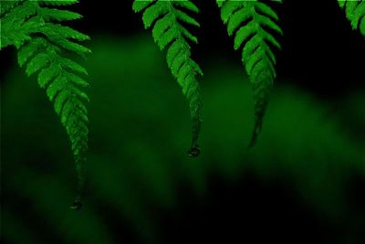 water droplets on fern