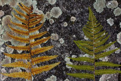 ferns on rock