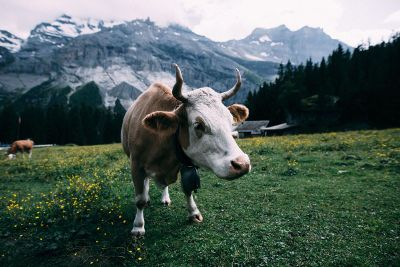 cows in mountain meadows