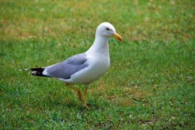seagull walking on grass