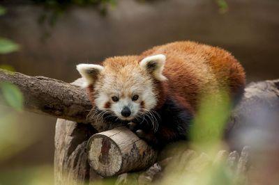 lazy red panda