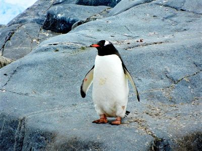 black and white penguin on a rock