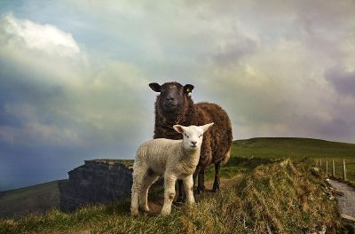 sheep on a mountain