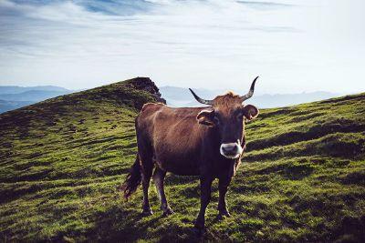 bull standing on grass