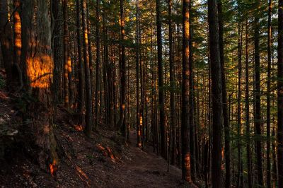 sunset in the redwood forest