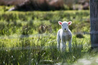 baby sheep in the grass