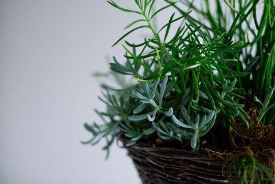 succulent houseplant