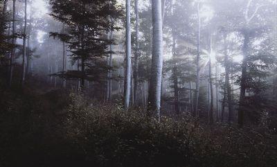beautiful sun dappled birch forest