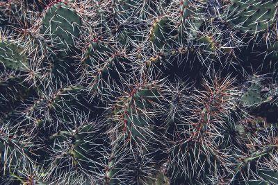 broad leaf cactus