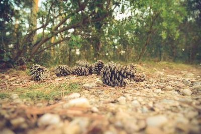 pinecones on the ground