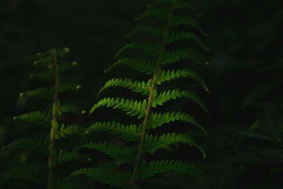 fern at night