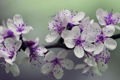 purple white flowers on branch