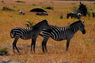 zebras in grass