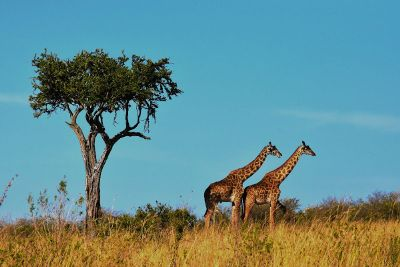 two giraffes standing by a tree