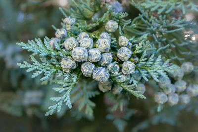 pine buds