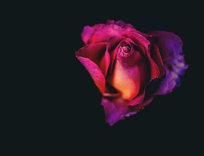 blloming rose