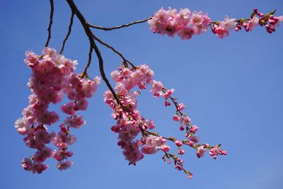 cherry tree blossoms in the sky
