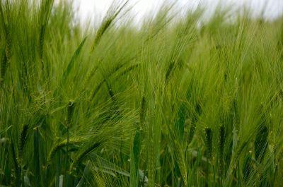 green growing wheat