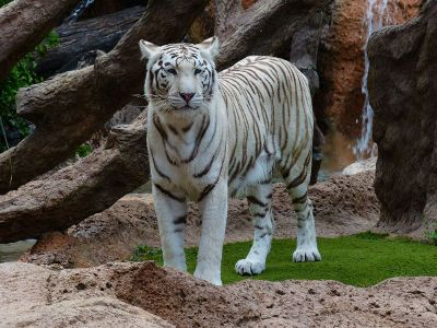 white tiger in front of waterfall