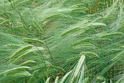 green wheat field up close