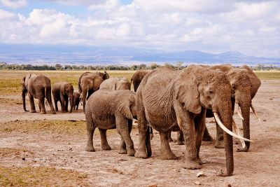 herd of elephants walking together