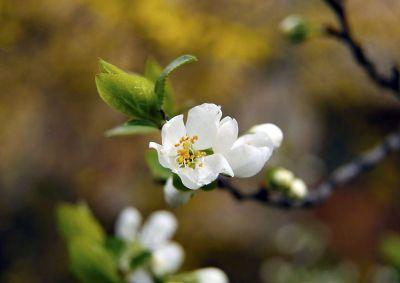 single white blossom