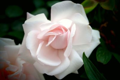 light pink rose bloom