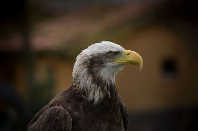 an eagle with yellow beak