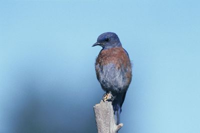 blue bird sitting on stick
