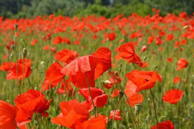 fields of red poppy flowers