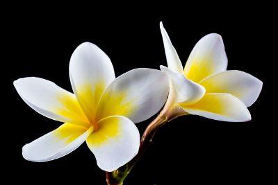 golden champa flower