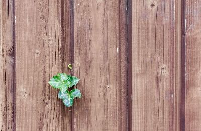ivy on a wood fence