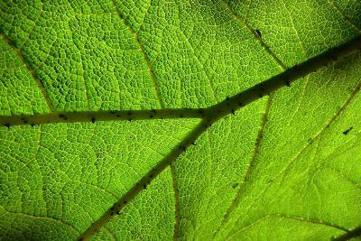 green leaf up close