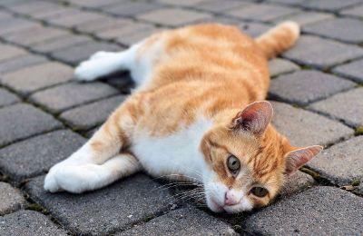 lazy cat in street