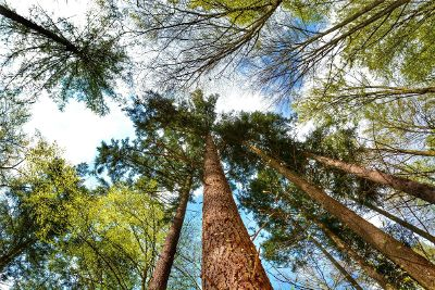 upward look of trees