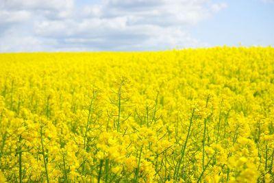 field of beautiful canola flowers