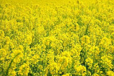 large field of yellow flowers