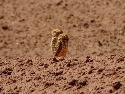 2 little owls in the dirt