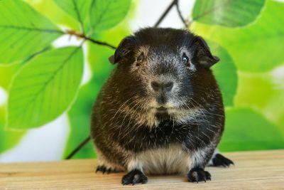 guinea pig resting among leaves