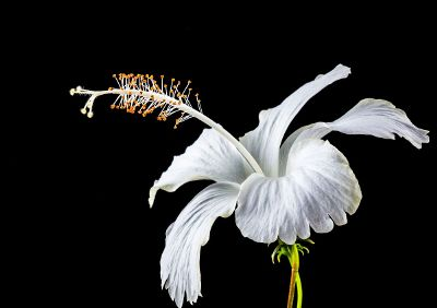 white lily against black background