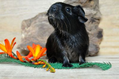black guinea pig with orange flowers
