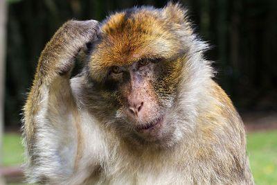 scrathing monkey