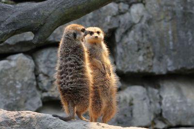meercats standing